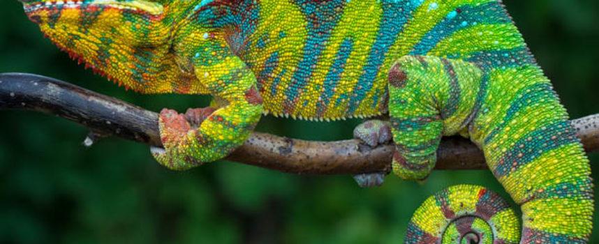 Antoni Czechow – Kameleon