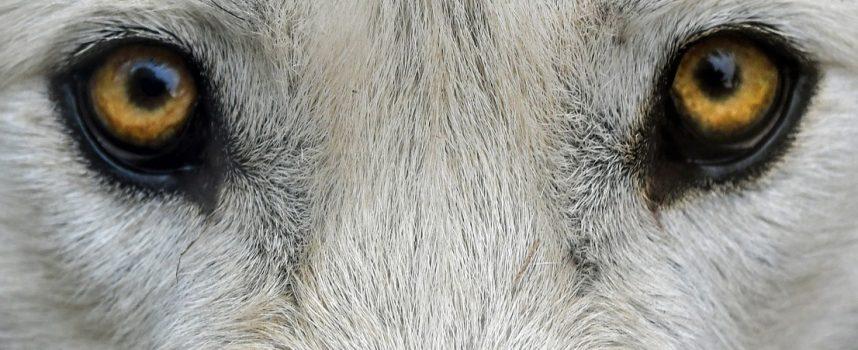 Arcydzieła do matury – Wilk stepowy