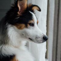 Jak znaleźć najlepszą suchą karmę dla psa dla alergika?